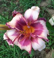 Daylily Plant PLUM TUCKERED 2 Fans Perennial Selman Peach Purple Flower