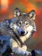 ANIMALE LUPO Lupine DOG WILD COOL Howl poster art print 30x40 cm bb3003b