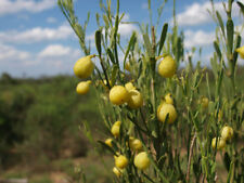 Desert Lime Fruit Native Tree Heat Drought Frost Salinity Tolerant Edible Native