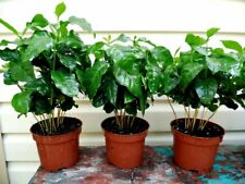 Seeds Rare Arabian Coffee Tree Flower Perennial Indoor Garden Organic Ukraine