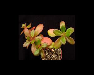 Sedum confusum | Species | Surreal Succulents