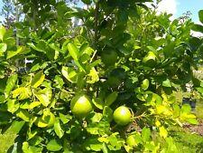Dwarf Lemon Tree. 4 inch pot. Good for own lemonade.  Outdoor and Indoor plant.