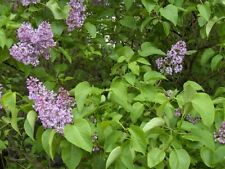 LILAC Flower Bush Seeds Here For You!