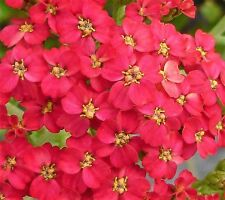 Red Valerian Seed Perennial Cottage Garden Cut Flower Drought Tolerant Scented