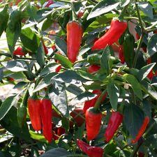 Chilli Pepper - Apache F1 - 10 Seeds