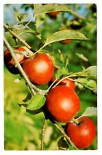 Nova Scotia Apples Canada Postcard World Famous Annapolis Valley Hanging on Tree