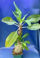"MYRMECODIA TUBEROSA LARGE SPECIMEN, SHOWN IN A 4"" POT, ANT PLANT #1603"