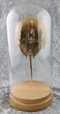 W79 Taxidermy Horseshoe Crab Collectible Glass dome Display Specimen curiosities