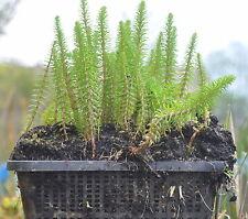 2 Pflanzkörbe mit  20 Teichpflanzen Tannenwedel, Wasserschwaden PFLANZFERTIG