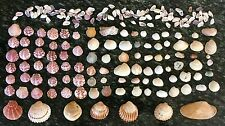 Seashells 100+ Cockle Shells Turkey Wing Cochina Scallop Weddings, Decor Crafts