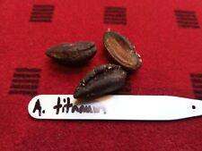 Amorphophallus titanum - 3 fresh voodoo lily titanum arum seeds