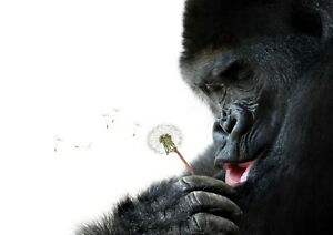 "Reproduction ""Gorilla With Dandelion Clock"" Poster"