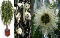 Der wohlriechende Pfefferminz-Eukalyptus vertreibt Mücken aus der Wohnung !