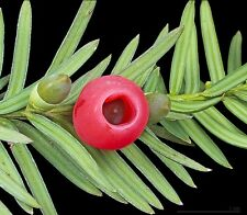 WHOLESALE. TAXUS BACCATA -BEAUTIFUL OLD ENGLISH YEW TREE 100gms 1400 seeds