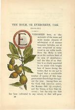Stampa antica CAPOLETTERA E e RAMO DI LECCIO botanica 1890 Old Antique print
