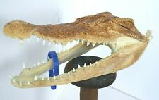 GENUINE CROCODILE SKULL TAXIDERMY UNIQUE EXOTIC ORNAMENT TAN BONE DECOR 16045