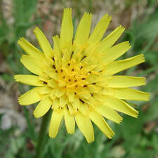 Meadow Salsify - Wildflower -*Jack-go-to-Bed-at-Noon*-Drought Tolerant-25 Seeds