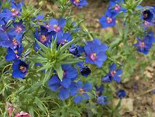 150+ semillas Anagallis monelli-leinblättriger gauchheil