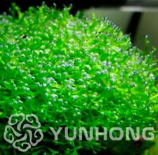 Antlers Moss Bonsai Sagina Subulata Decorative Grass Plants Garden 200 Pcs Seeds