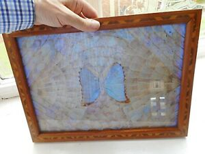 Iridescent Butterfly Wings under glass .  Marquetry Frame. Mahogany wood.