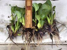 "Water Hyacinths- 10- Medium Plants (4""-6"")- Spring Fed Pond"