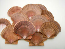 "24 Mexican Flat Scallop Shells Seashells Large 3"" Crafts Coastal Beach Cottage"