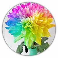 Regenbogen Chrysantheme - 50 Samen - Wunderbare Farbpracht - Ideal als Geschenk