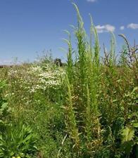 Flores Silvestres Semillas-Dyer De Soldadura - 500 Semillas