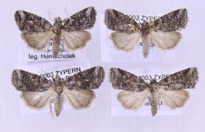 4 x Cryphia microphysa aus Zypern