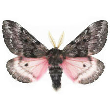 Coloradia pink saturn moth Arizona Usa unmounted wings closed