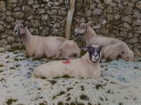 NEIL WESTWOOD WATERCOLOUR PAINTING Sheep Grazing Norfolk Farm Drystone Wall Snow