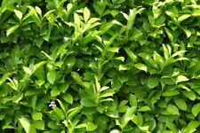 30 Stk. Kirschlorbeer Caucasica - immergüne, winterharte Heckenpflanze - Hecke