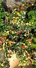 Summer sunset Asiatic Jasmine - 1 - Gallon - well - rooted - live - plant