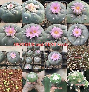 30SEEDs/SET Lophophora Fricii Ibo #Haworthia ariocarpus lophophora Cactus..