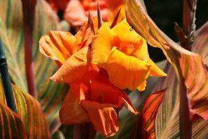 Canna Durban Young Plant 9cm pot x 3 Plants/Pots