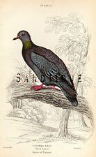 "PIGEON from ""Jardine's Ornathology"" - ""WOOD PIGEON"" - Hand-Colored 1833"