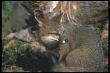 109027 Gray Fox Otoño A4 Foto Impresión
