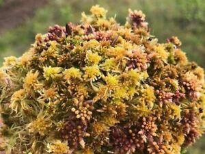 Sphagnum Moos Fuscum gepresst in einem Brikett 200g (16L) Substratboden
