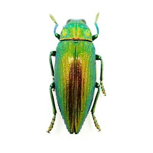 Green Jewel Beetle (Chrysodema radians) Insect Specimen Taxidermy