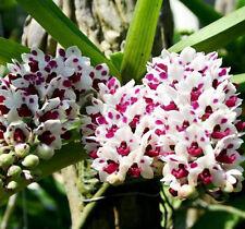 Rhynchostylis  gigantea  Lindl orchid plant