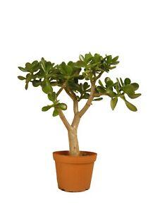 "Jade Plant Crassula Ovata Large 19"" to 20"" Tall Rooted Money Tree Pre-Bonsai"
