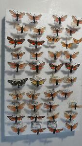 Zygaenidae: Kleine Sammlung Zygaenidae