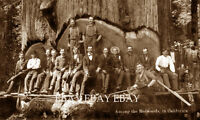 LUMBERJACKS LOGGING REDWOOD TREE CROSSCUT SAW AXE LOG LOGGER CALIFORNIA PHOTO 10