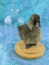 I54 Standing taxidermy Cayuga Domestic baby duck duckling dome Collectible decor