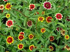 75 MIXED PERSIAN CARPET ZINNIA Haageana Flower Seeds