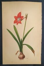 Vtg Original Botanical W/C Painting after Redoute Red Amaryllis signed flower