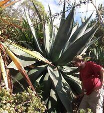 Winterfeste Agaven P. neomexicana Pflanzen die für den Blumentopf geeignet sind