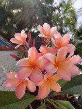 5 Light Pink Orange Plumeria Seeds Plants Flower Lei Hawaiian Garden Seed 638