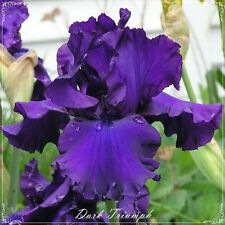 "TALL BEARDED IRIS GERMANICA Rhizome ""DARK TRIUMPH"" Delivery August/September"