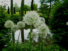 Allium Zierlauch --  weiss --  Mount Everest je 50 Samen